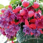 Fuchsia Bloom - Horkan's Lifestyle & Garden Centre