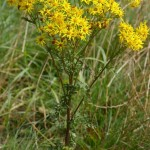 The Dangers of Ragwort