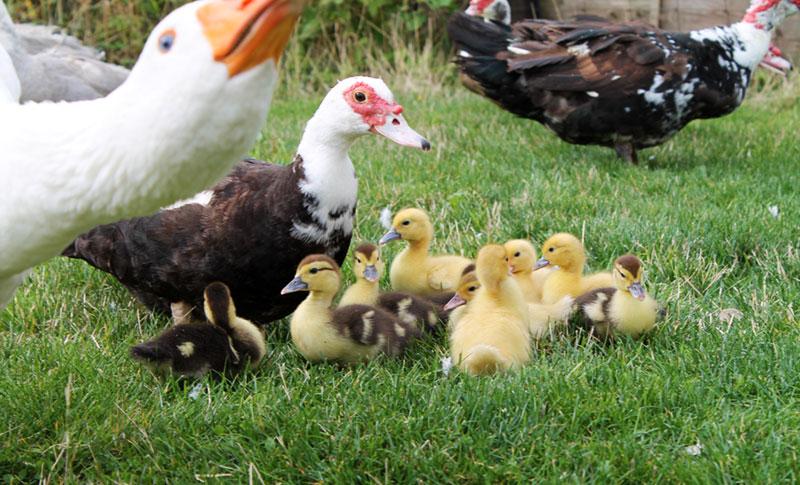 Mama-Duck-babies
