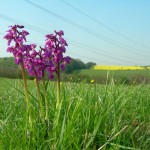 Relocation of Orchids for Gort–Tuam Motorway