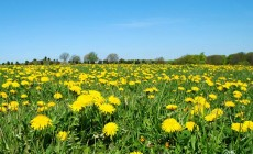 Please Don't Spray Herbicides to Get Rid of Dandelions