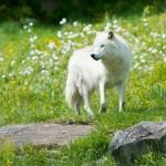 'The Wolf' by Uisce De Burca