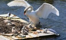 Swan Success in Oranmore
