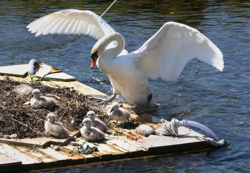 Swan and cygnets on the raft at Oranmore. Photo by Joe O'Shaughnessy via Connacht Tribune.