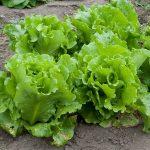 GIY (Grow It Yourself) Veg Of The Week—Lettuce