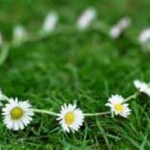 Daisy Chains by thereluctantemigrant Denise Hession