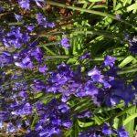 Bluebells clump