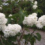 Syringa white